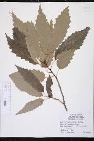 native plants of arkansas quercus muehlenbergii species page isb atlas of florida plants