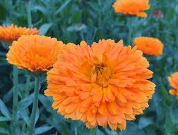 calendula flowers orange zinger calendula flowers
