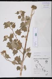 florida native plants list sida cordifolia species page isb atlas of florida plants
