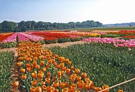Netherlands Tulip Fields The World Factbook U2014 Central Intelligence Agency