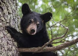 are we seeing more black bears this year fish and wildlife