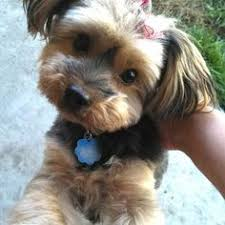 haircut for morkies morkie haircuts google search puppies pinterest haircuts