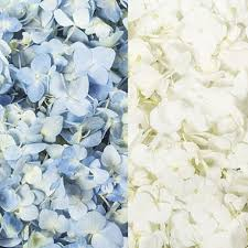 hydrangea white hydrangea petals blue and white 16 pk sam s club