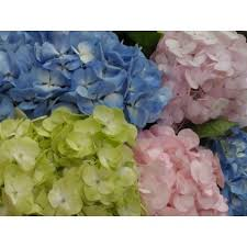 Bulk Hydrangeas Mixed Color Hydrangeas In Bulk