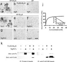 Anti Flag Affinity Gel Identification Of Blys B Lymphocyte Stimulator A Non Myelin