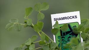 Herb Robert Pictures Getty Images What Is A Shamrock And What Does It To Do With St S