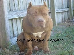 american pitbull terrier kennels in michigan american pitbull terrier dog breed pictures 7
