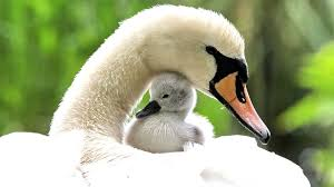 bird water mom bird spring sweet swan birds eye picture hd