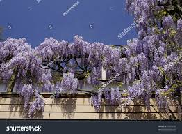 wisteria sinensis chinese wisteria climbing plants stock photo