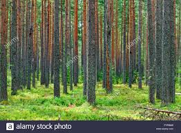 forest backdrop fresh green pine forest backdrop stock photo 103160073 alamy