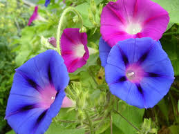 morning glory wiktionary