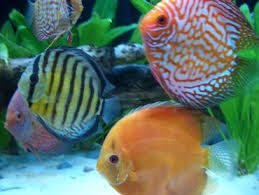Live Plants In Community Aquariums by Cultivating A Healthy Discus Community Tank Ratemyfishtank Com