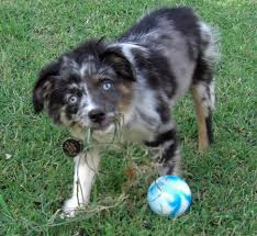 australian shepherd vocal jackaroo the australian shepherd puppies daily puppy