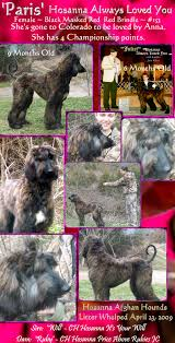 afghan hound ireland aaawww afghan hound puppies for sale cute monkey whishers photos