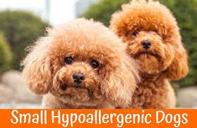 belgian shepherd hypoallergenic guide to small hypoallergenic dogs of 2017 us bones