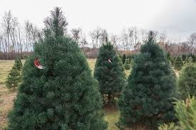 choose and cut or fresh pre cut scotch pine christmas trees