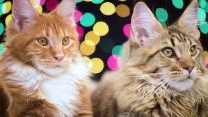 maine coon cats move back and forth adorable kittens