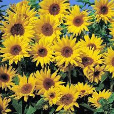 sunflower seeds flower seed annual flowers