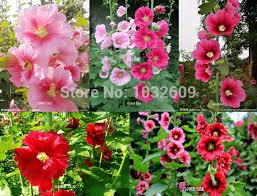 hollyhock flowers ornamental plant flowers seed 120pcs mix 3 colors hollyhock flower