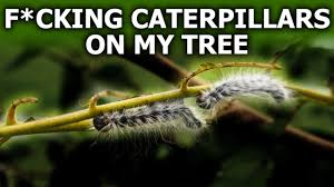f cking caterpillars on my tree youtube