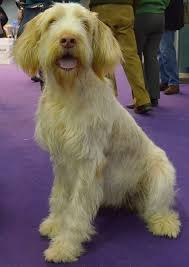 westminster australian shepherd 2014 the 144 best images about westminster kennel club dog show 2014 on