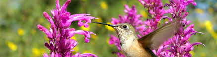 Hummingbird On A Flower - attract hummingbirds perennial plants that attract hummingbirds