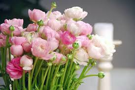 ranunculus flower ranunculus asiaticus buttercup