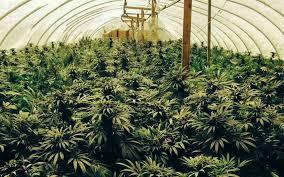 proper lights for growing weed growing marijuana indoors with natural light potent