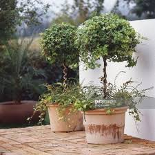 terracotta pots ivy topiary in terracotta pots stock photo getty images