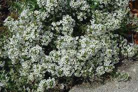 alyssum flowers yolo white sweet alyssum lobularia maritima yolo white in