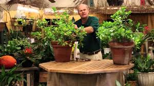 care tips for indoor gardenia plants youtube