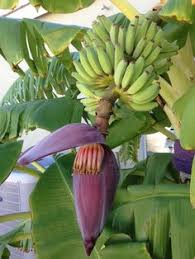 Tropical Fruit Tree Nursery - musa lady finger banana tree fruiting at tropica mango rare and