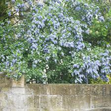 ceanothus trewithen blue californian lilac trees for sale