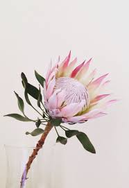 Protea Flower The 17 Best Images About Nature On Pinterest Fall Flowers