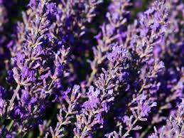 lavender tea 7 impressive benefits of lavender organic facts