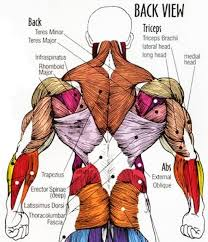 Human Body Muscles Images Back Muscle Anatomy Chart Upper Back Human Anatomy Diagram