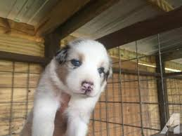 australian shepherd 4 weeks old levi akc australian shepherd puppy 4 weeks old for sale in