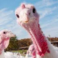 thanksgiving turkey definition divascuisine