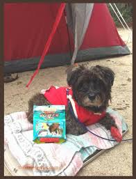 affenpinscher india 6 safety tips for dog friendly outdoor adventures oz the terrier