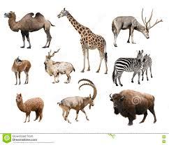 a collage of animals mammals artiodactyla stock photo image