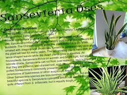 what the call of sansevieria ppt