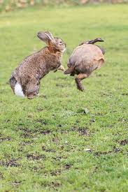 hopping bunny rabbit hopping pictures images and stock photos istock
