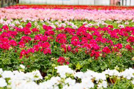 Flowers For Sale Greenhouse With Colorful Blooming Geranium Flowers For Sale And