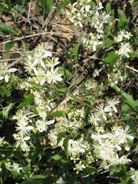 native plant database chinese clematis gilpin county extensiongilpin county extension