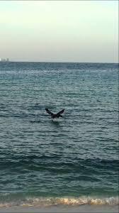 imagenes extraordinarias del mar el pelicano pardo una de las aves mas extraordinarias del mar
