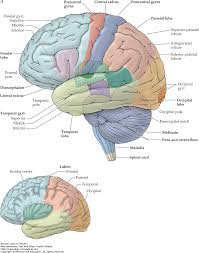 organization of the central nervous system neuroanatomy text and