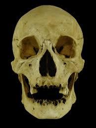 halloween skulls scurvy matt museum quality skull