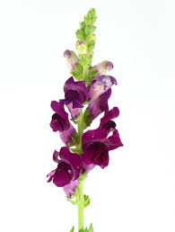 snapdragon flowers snapdragon flower bouquets melbourne get fresh snapdragon