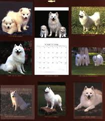 american eskimo dog puppies near me wright u0027s american eskimos american eskimo dogs and puppies