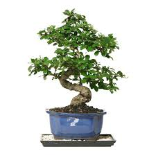 decorative trees for home bonsai trees indoor plants the home depot